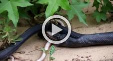 Il serpente ingoia qualcosa, poi rigurgita: la scoperta choc