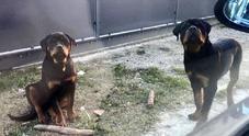 Maya e Tyson, la tragica fine dei due cuccioli di Rottweiler scomparsi