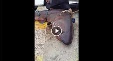 Grosso squalo tirato su   dai pescatori: ucciso /Video
