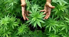 Cannabis, spunta l'ultimo mega-studio Usa: ecco cosa hanno scoperto gli scienziati