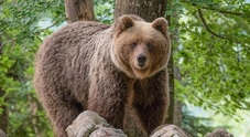 Aumentano gli orsi e i lupi, attivato un servizio a protezione delle greggi