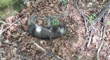 Tragica scoperta nel Parco nazionale: morti 5 lupi cuccioli