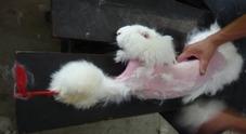 Scuoiati vivi: l'orrore dei conigli d'angora