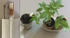 Una lampada e le piante di marijuana trovate dai carabinieri a casa del 43enne di Tarcento