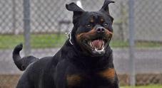 Bimba di 14 mesi sbranata dal Rottweiler di famiglia: il cane è stato ucciso