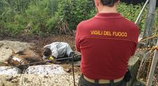 Cavalla finisce nella vasca dei liquami, tre ore per salvarla dalla morte