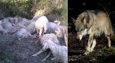 Immagine «Sbranate decine di pecore fattorie sono a rischio»
