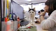 Un gatto da ufficio alla Ferray Corporation di Tokyo