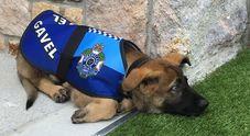 Troppo tenero coi criminali, il cane poliziotto congedato con disonore