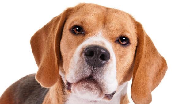 Si sente male e cade: il suo Beagle riesce a fare una cosa incredibile