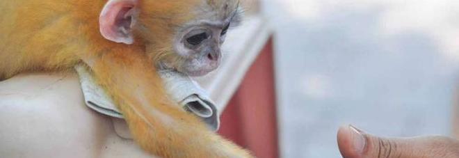 Piak, il piccolo di scimmia ringrazia così l'uomo che l'ha salvato - Guarda