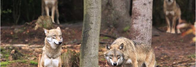 Urbania, lupi a due passi dalla città Sbranati alcuni animali dell'Oasi