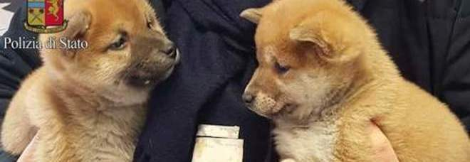 Milano, venti cuccioli di cani e gatti salvati dalla polizia: indagati due trafficanti
