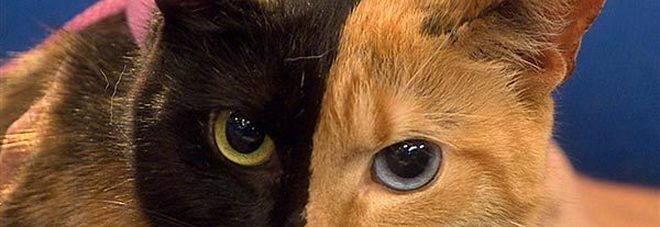 La gatta Venus è reale, gli esperti: «è una chimera»