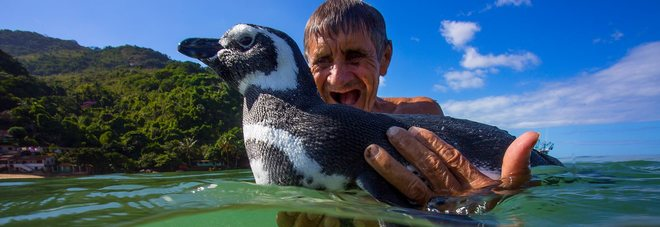 """La vera storia del pinguino che nuota dall'uomo che lo ha salvato: """"Questi punti sono falsi"""""""