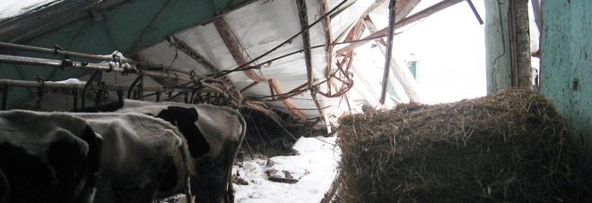 Terremoto e maltempo Nelle Marche sono morte 400 mucche e pecore