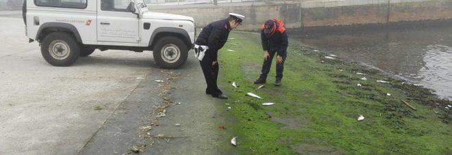 Pesaro, la moria di cefali è causata da eliche e non dall'inquinamento