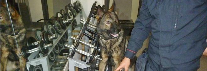 Etto di marijuana nascosto in cucina non sfugge al cane Cir: un arresto