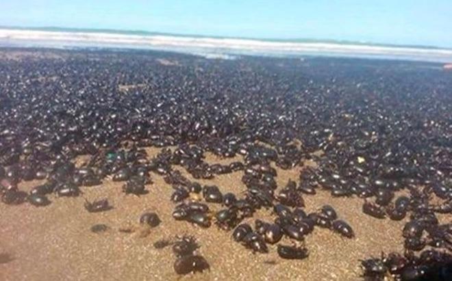 """Chilometri di spiagge invasi dagli scarafaggi. Gente terrorizzata: """"È la fine del mondo"""" -Foto"""