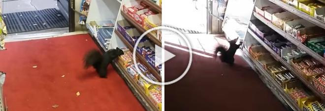 Gli scoiattoli rubano la cioccolata dal negozio: «Aiutatemi, cosa devo fare?»
