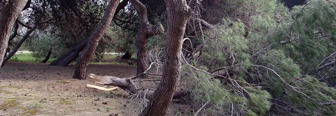 Vento e gelo, pineta a rischio Ora si riaccende la paura per il patrimonio verde