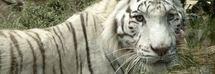 Tigre bianca sbrana una guardiana