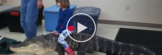Sorpresa di compleanno, la bimba cavalca un alligatore di 2.5 metri