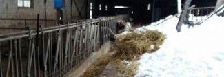 Amatrice, il grido degli allevatori abbandonati: «Gettiamo il latte nelle fogne»
