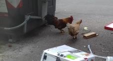 Il gallo e la gallina su via dell'Arco di Travertino