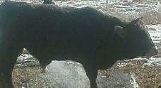 Il toro Valentino