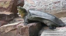 Tartaruga dal guscio molle verso l'estinzione: morto a 90 anni uno degli ultimi esemplari