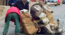 L'asino crolla sotto il peso dei pacchi, stremato dalla fatica. Il proprietario nei guai per maltrattamento