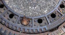 Scoiattolo extralarge resta incastrato in un tombino: pompieri e veterinari riescono a salvarlo