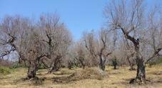 Xylella, dall'Ue il via libera al reimpianto di varietà d'ulivo tolleranti