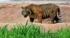 Uccisa tigre, aveva mangiato  13 uomini /La cattura