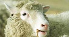 Scozia, un ovino apre la porta e scappa dall'ovile | Video