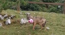 Il lupo Bernardo ospite fisso della malga in Cansiglio... e gioca pure con una palla