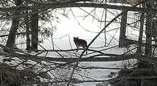Il lupo fotografato da Erika Buzzi