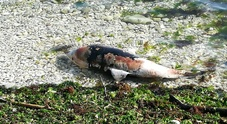 La carcassa di un piccolo delfino spiaggiata davanti al Passetto