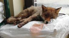 Volpe rossa trovata in un hotel: salvata e liberata a villa Ada