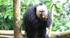 Scimmia lascia cadere una pietra su un bimbo di quattro mesi e lo uccide