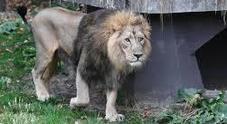 Sudafrica, bracconiere travolto da un elefante e poi sbranato dai leoni: l'uomo era a caccia di rinoceronti