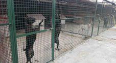 L'appello delle maestre per il canile:  «Sfamiamo i cuccioli di Licola»