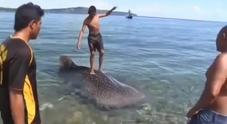Il cucciolo morente di squalo balena usato come tavola da surf.