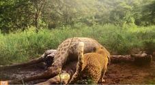 Ecco il leopardo rosa che si nutre di una giraffa: la rara immagine