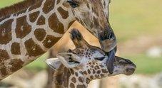 Kumi, baby giraffa di 5 mesi condannata all'eutanasia dai veterinari dello zoo di San Diego