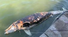 Trovato un delfino morto a largo di Fiumicino: è il secondo in due giorni