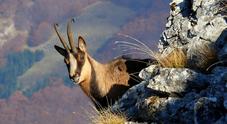 Due giorni alla scoperta del Camoscio appenninico nel Parco dei Sibillini