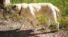 Nocciolino, cane terremotato percorre 60 chilometri in una settimana per tornare nella sua Norcia