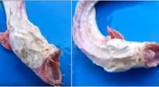 Mostruoso pesce alieno terrorizza il web: denti aguzzi e senza occhi